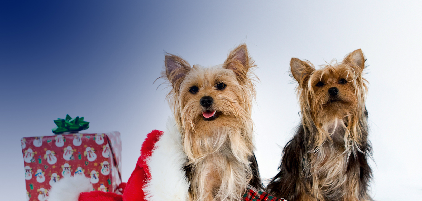 https://www.dutchpoint.org/images/default-source/Homepage-Banners/christmas-dogs.jpg?sfvrsn=0